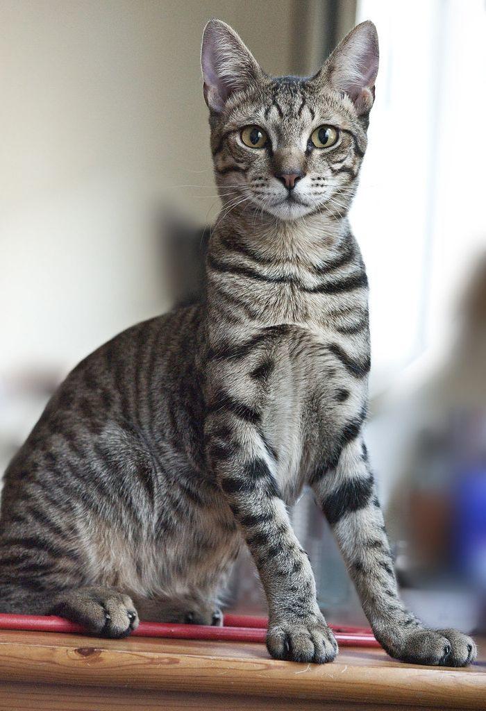 Egyptian Maus Egyptian Mau Egyptian Cats Cat Breeds
