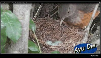 Macam Status Angkola  Facebook ( Paposmaroha ): Sarang Burung / Unggas : Pengertian, Model, cara P...