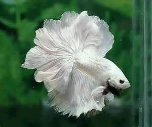 32 best images about aquarium fish in florida ponds on for Florida tropical fish