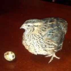 Raise Coturnix Quail for Eggs, Meat and Profit, The Micro Farm Project. Featured 1/27/13