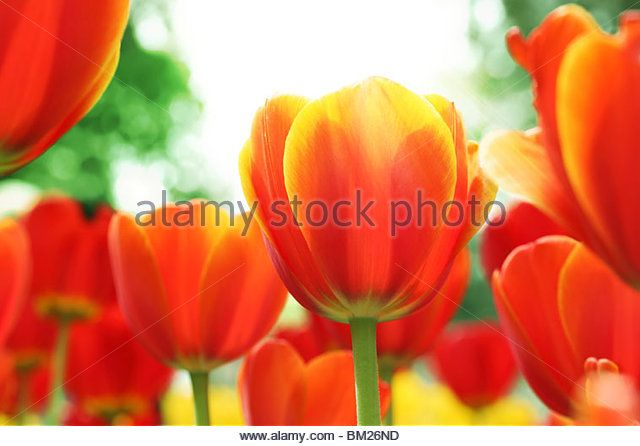 Blooming red tulips with sunshine - Stock Image