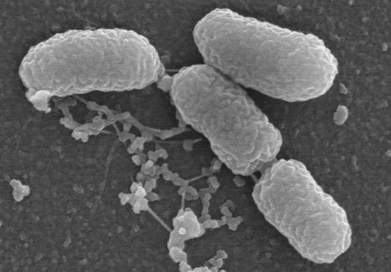 Burkholderia: Bactéria letal é detectada em laboratório