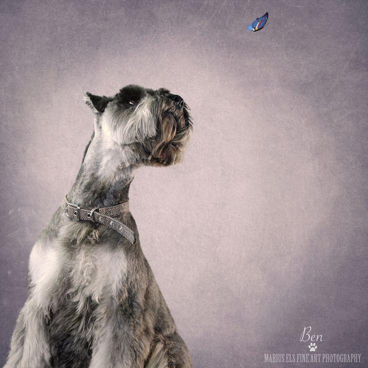 Doggie Delights 2 - Ben - Big Miniature Schnauzer