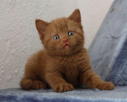British Shorthair Cinnamon Kitten British Shorthair Kittens