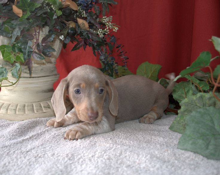 Isabella Dachshund I Want One Puppy Love Pinterest
