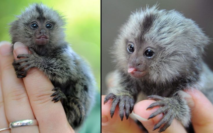 A newborn marmoset sits on the hand of a keeper at the zoo in Eberswalde, Germany. A marmoset gave birth to three young on June 29, but she could not feed the third one. so it is now being raised by hand.: June 29, Baby Marmoset, Hands, Pet, Baby Animal, Newborns Marmoset, The Zoos, Births, Adorable Animal