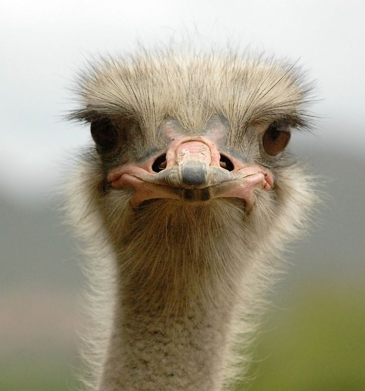 Get up-close and personal with the ostriches at The Cango Ostrich Farm, Oudtshoorn.  (www.howzattravel.co.uk)