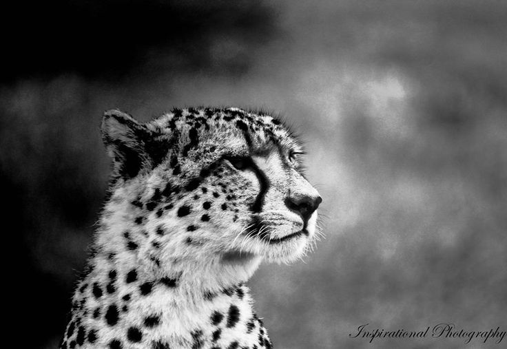 Amazing photo of a cheetah on Amakhala Game Reserve. Photograph taken by Ranger Kyle Ansell