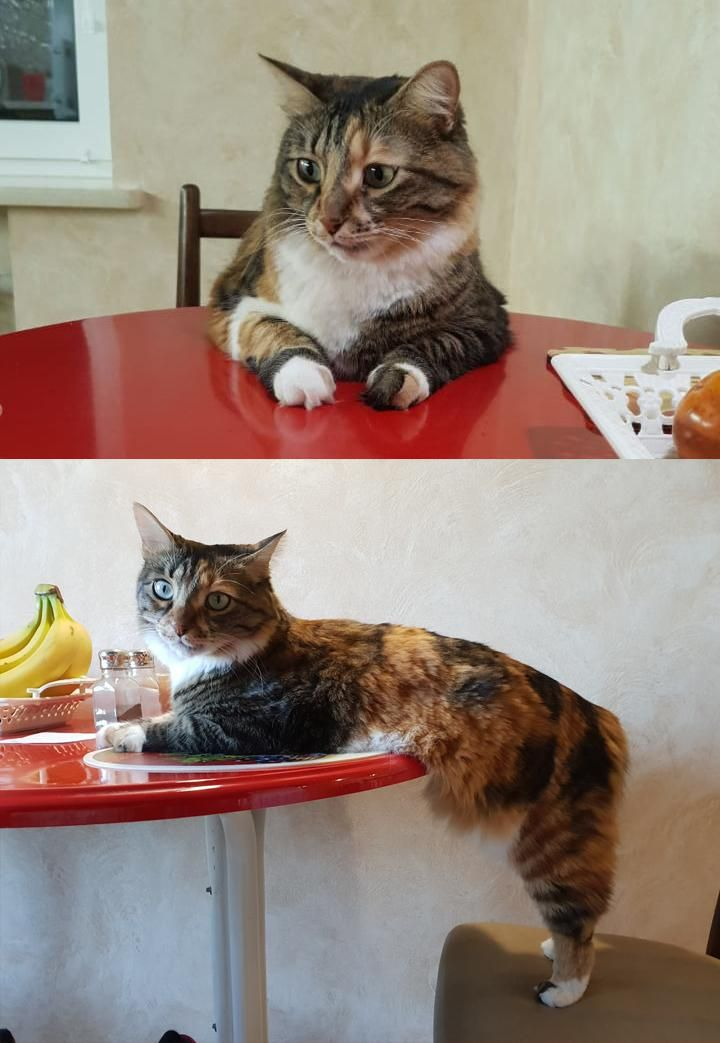This Is How My Cat Sits In Front Of The Table In 2020 Kittens Cutest Cute Funny Animals Cutest Cats Ever
