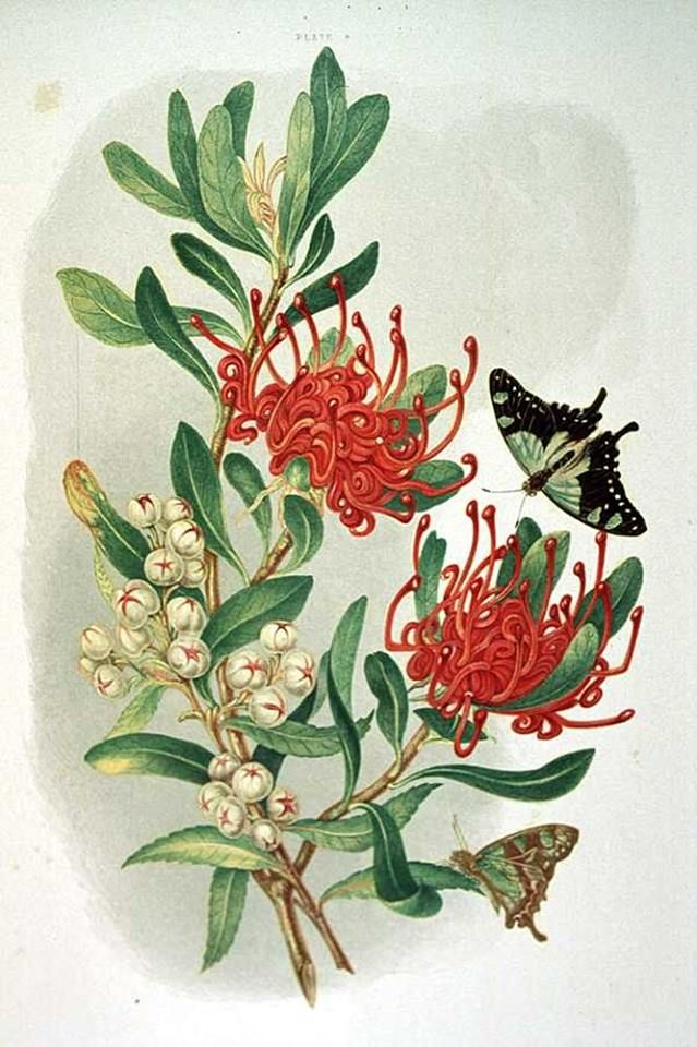 Louisa Anne Meredith (Anglo/Australian writer and illustrator) 1812 - 1895 Waratah and Native Arbutus, 1860 [Pl. IV] coloured lithographic print Tasmaniana Library, Tasmania  From 'Some of my bush friends in Tasmania', London, Day, 1860