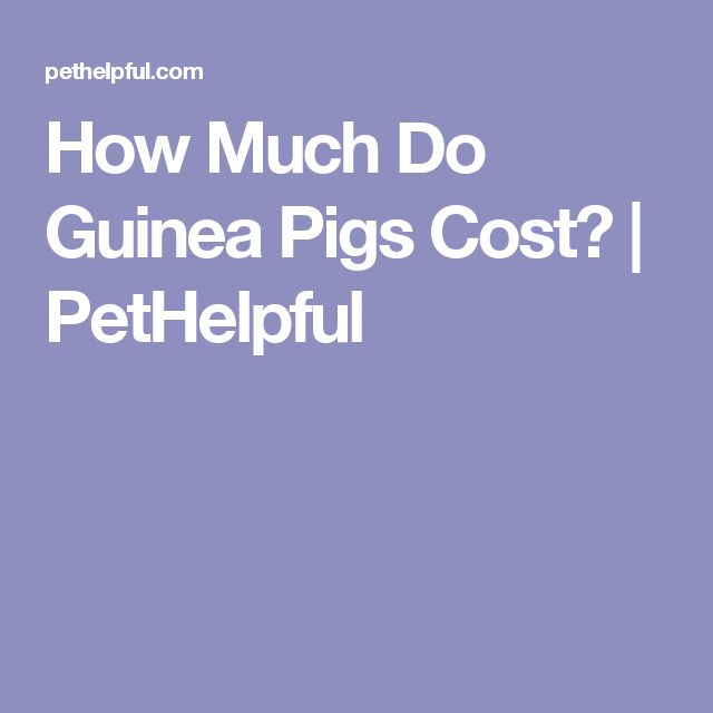How Much Do Guinea Pigs Cost? | PetHelpful