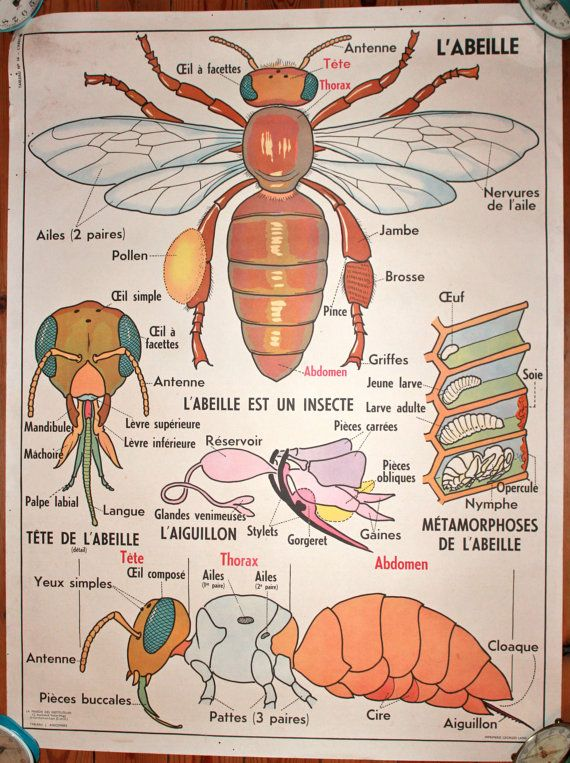 Vintage - Anatomy, French school poster. L'ABEILLE - Les POISSONS (Bee - Fish)