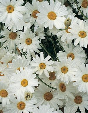 PYRETHRUM HIGH POTENCY (Chrysanthemum cinerariifolium). Beautiful white daisy contains the strongest potency of natural insecticide you can grow. Pyrethrins act directly on the nervous systems of aphids, mites, leafhoppers, cabbageworms and other insects. Will not harm fish, waterfowl, plants or mammals. To make pyrethrum spray,  mix 1 T of freshly ground dried flowers with 2 Qts hot water. Add a little soap and let stand. Perennial. Hardy Zones 4-9.