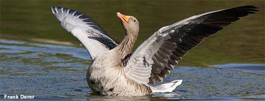 NABU   Stunde der Gartenvögel   Vögel bestimmen   Wasservögel im Park