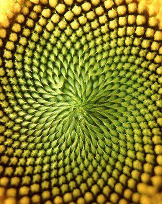 Fibonacci sequence, sunflower heart