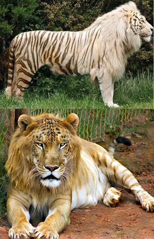 Top 10 (Plus) Hybrid Animals of the World tigers
