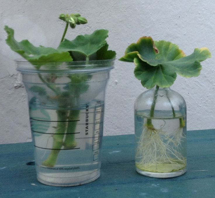 Root your cuttings using an iced coffee/slushy pot (my preference is lid inverted) or a room perfume diffuser (bottles come in all sorts of nice shapes for your windowsills).  Yes, you can use a yogurt pot or jam jar, but the ones above support the plant cutting without having to fiddle about cutting holes in lids.  Salx