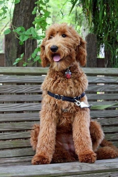 8 month old apricot goldendoodle with a puppy cut!