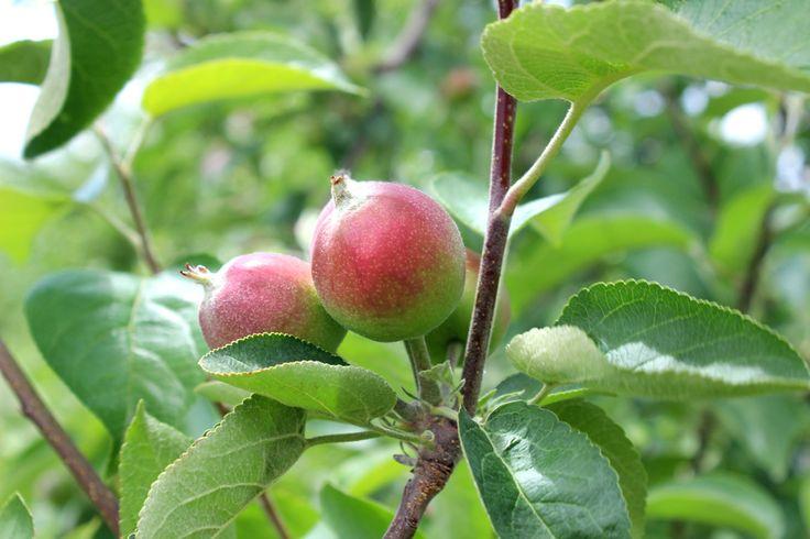 Pomme pour faire du cidre, 21 juin 2014