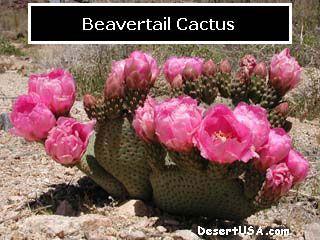 Common Name  Beavertail Cactus  Scientific Name   Opuntia basilaris  Region/ Deserts  Sonoran Mojave  DesertUSA