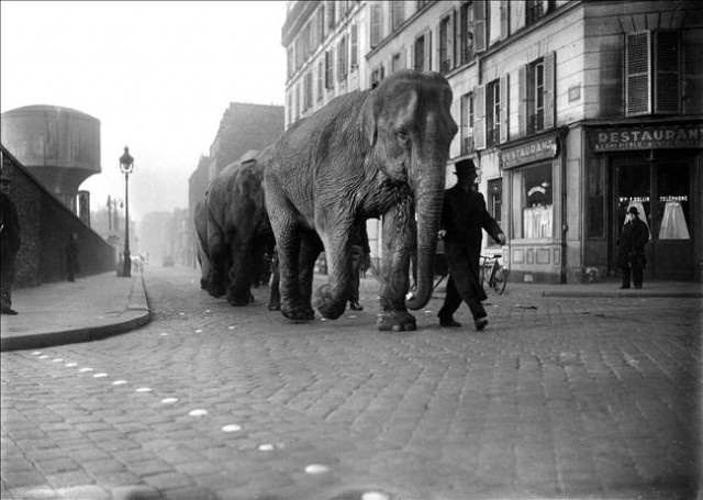 Cortège d'éléphants dans les rues de Paris en 1941. Ils faisaient certainement partie de la ménagerie du Cirque des frères Bouglione.