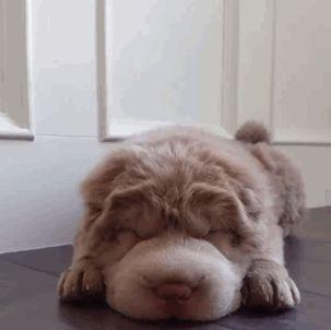 a Bearcoat Shar Pei (a bear / dog hybrid?)