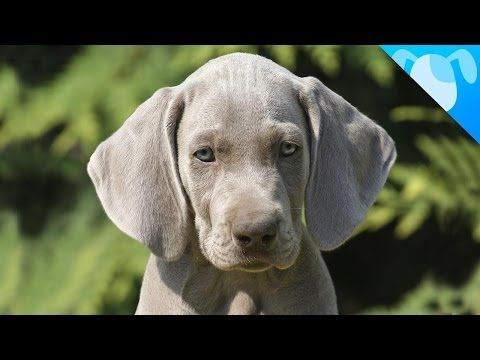 Weimaraner Facts...because I just got one and am totally in love with this breed !