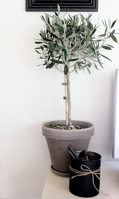 topiary olive tree in vintage plant pot