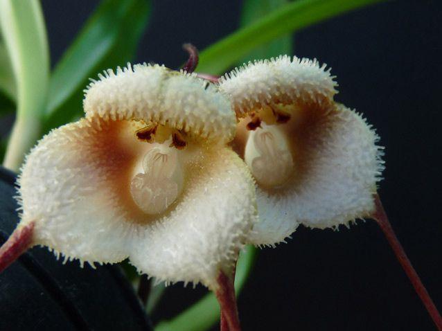 Drácula saulii é uma orquídea epífita no gênero Drácula. E esses dois parecem com um par de macacos ...!