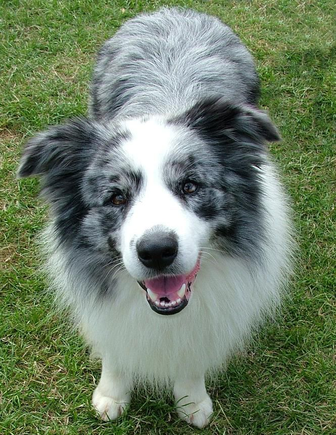 spark - blue merle border collie