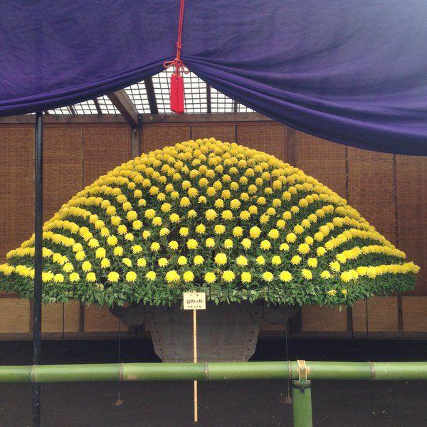 Tumblr: namimory:  この大作り花壇は土から1本だけ茎が出ていてそこから610輪の花が同時に咲いている園芸というより工芸むしろ調教という言葉が頭に浮かぶ新宿御苑だけの超絶技術マッドサイエンティストみたいな菊育て師さんがいるのだろうか   (via 小野桃子 on Twitter)