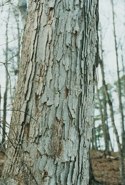 Image result for white oak tree bark