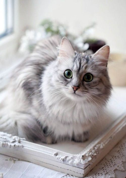 25 Best Ideas About Gray And White Cat On Pinterest