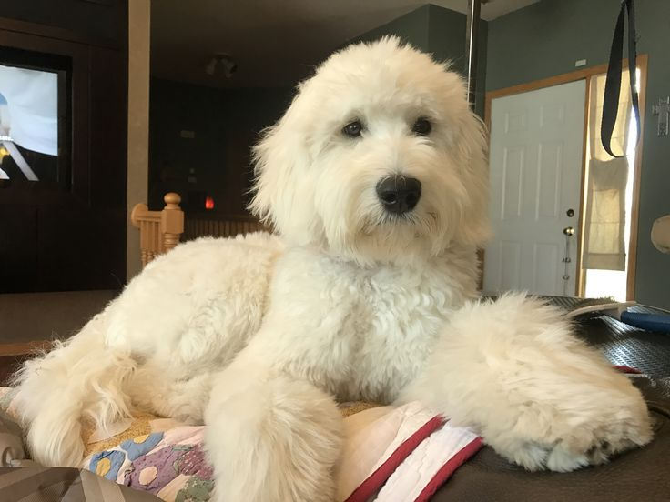 Goldendoodle. First haircut!