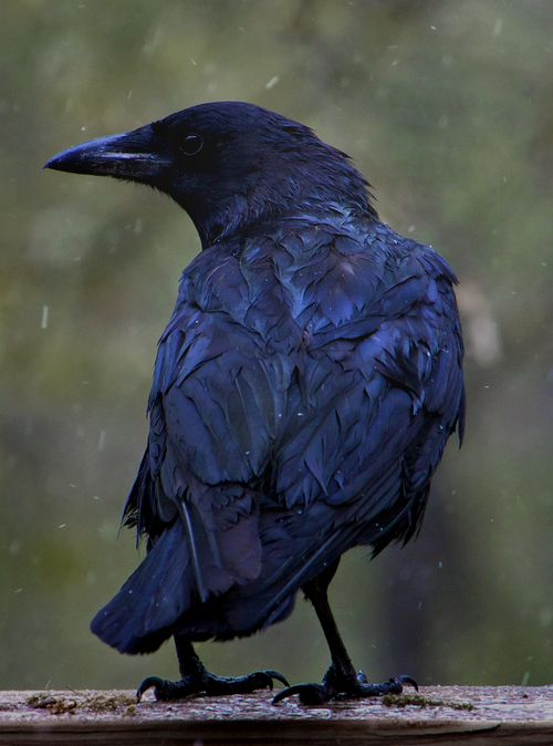 blue raven. tattoo idea: skull face. maybe tribal wings.