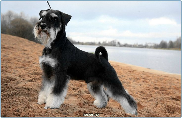 Миттельшнауцер  #цвергшнауцер #ризеншнауцер #миттельшнауцер #собаки #собака #россия #породы #Серпухов #Москва #Тула #Спб #Самара #Казань #Подольск #МО #животные #animals #animal #dogs #dog #russia #Schnauzer #germany #moskow #lodedog