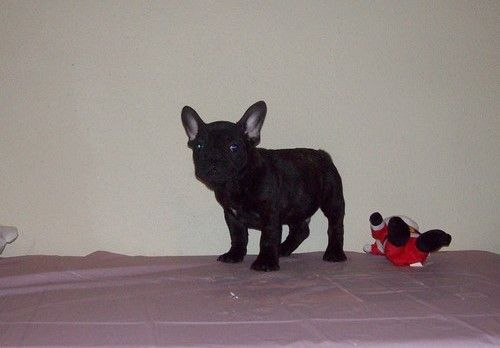 French Bulldog Puppy For Sale In Watts Ok Adn 65569 On