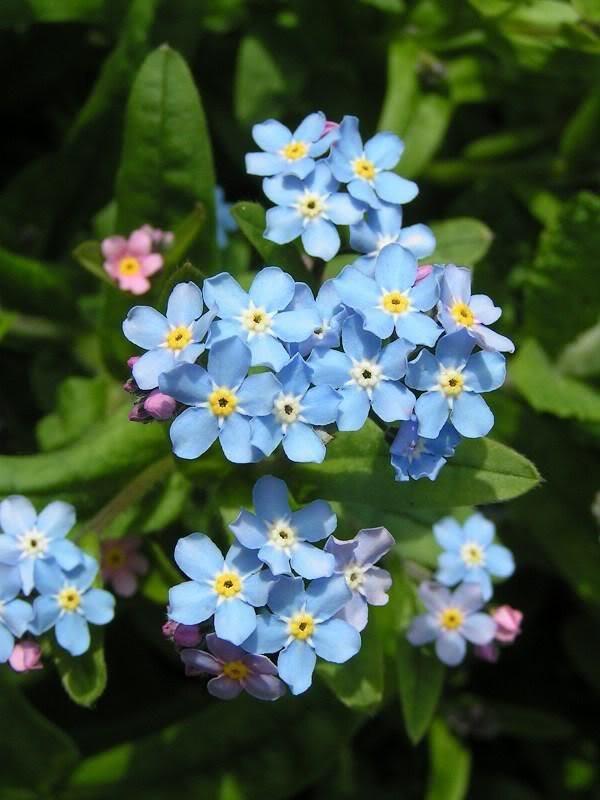 Alaska State Flower - Forget Me Not