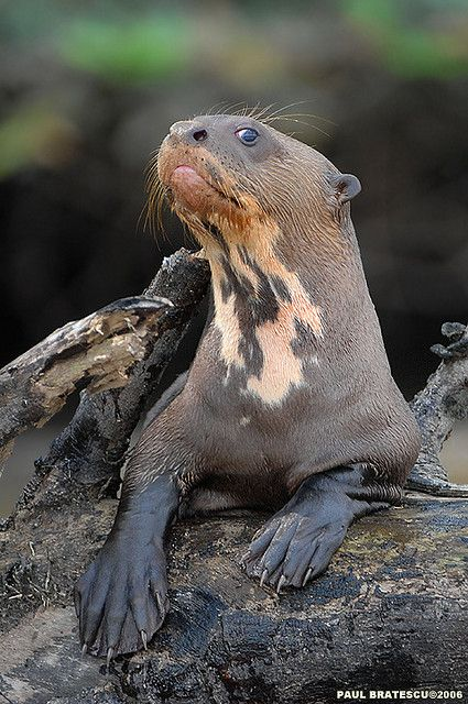 Amazon Giant River Otter by Paul Bratescu. so much expression in his face. animals are so like us.