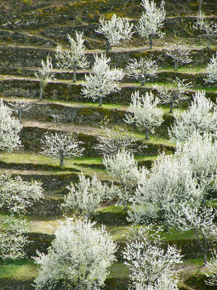 Valle del Jerte: Cerezos en flor