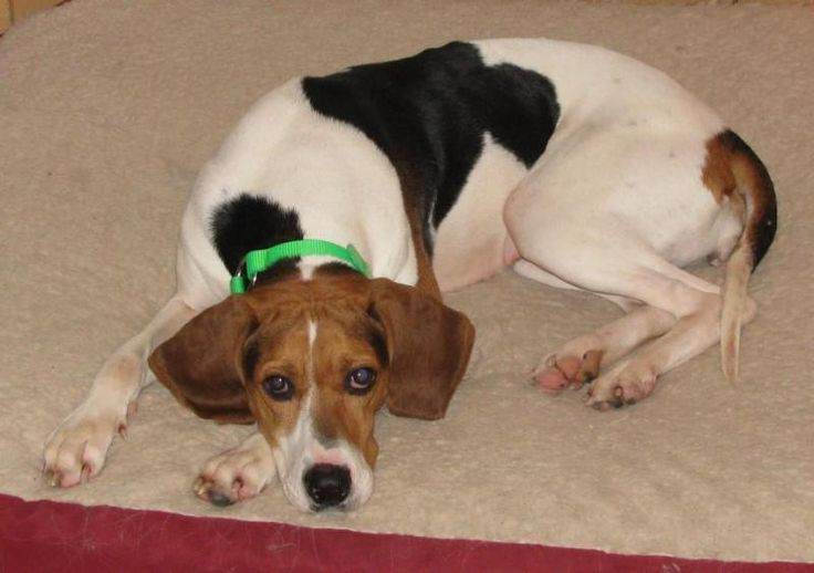 Meet Mimi, an adoptable Treeing Walker Coonhound Dog | Oakville, ON | GOODBY NOTE FROM HER FOSTER DAD IN KY, SHE WILL BE MISSED:Mimi has a great personality, and I am...