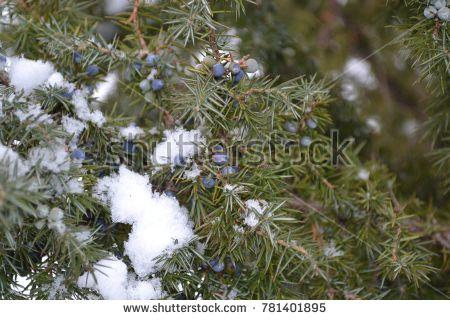 Juniperus communis. Juniper. Evergreen thorny branches. Nice smell. Winter day. Horizontal #bubushonok #art #bubushonokart #design #shutterstock #photo #nature