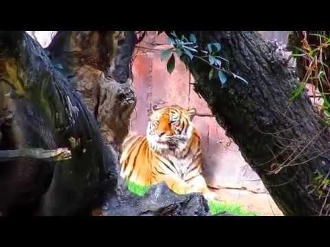 BIOPARC FUENGIROLA 2017  CHIMPANCÉ Y  TIGRES DE SUMATRA
