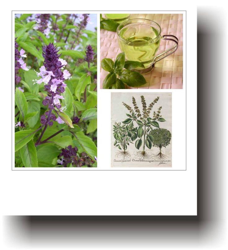 Plante medicinale – BUSUIOCUL
