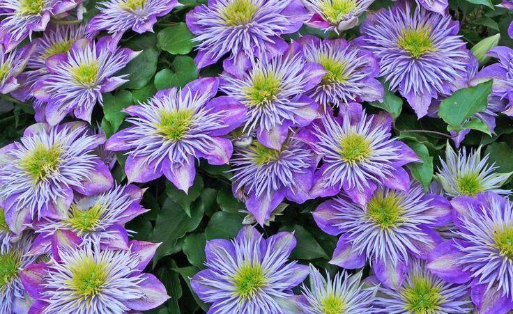 75 Best Kletterpflanzen Images On Pinterest