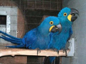 Baby Hyacinth Macaw Parrots For Sale We Have 2