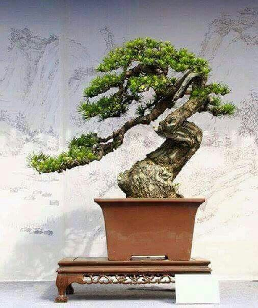 3734 besten bonsai bilder auf pinterest bonsai pflanzen. Black Bedroom Furniture Sets. Home Design Ideas