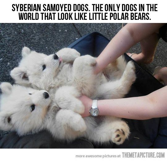 Polar Bear Dogs... I'm probably going go buy one :) how cute :)