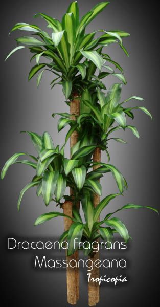 1000 images about dracena on pinterest dracaena plant the plant and ficus elastica. Black Bedroom Furniture Sets. Home Design Ideas