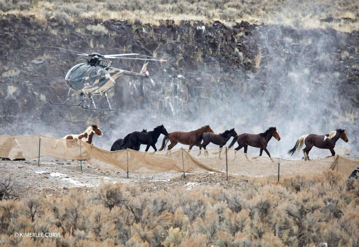 "The cruel roundups are just the tip of the iceberg when it comes to suffering and death for Americas iconic wild horses. America has two long-standing symbols for freedom: the bald eagle and the wild mustang.Wild horses are protected by a special law, which was unanimously passed by Congress in 1971 and designates mustangs as ""living symbols of the historic and pioneer spirit of the West who ;enrich the lives of the American people.  You've seen these majestic wild..."